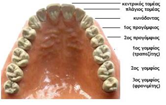 μονιμα δοντια